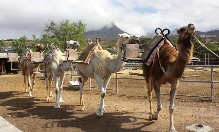 Camel Park Tenerife con niños