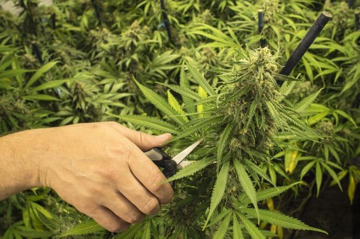 Marihuana medicinal niños Autismo Síndrome de Tourette X frágil TDAH