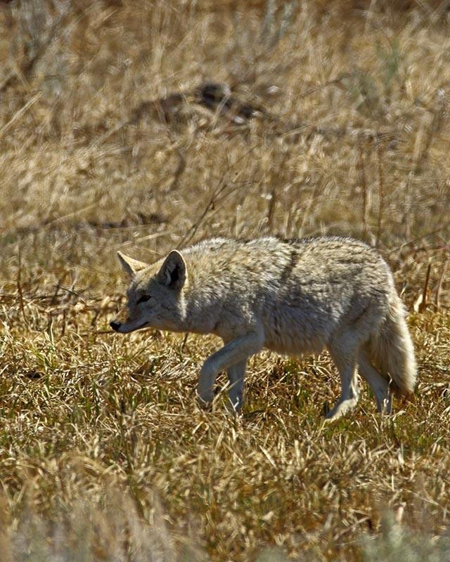 Coyote embarazada