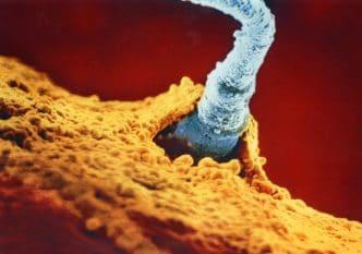 El espermatozoide penetrando el óvulo