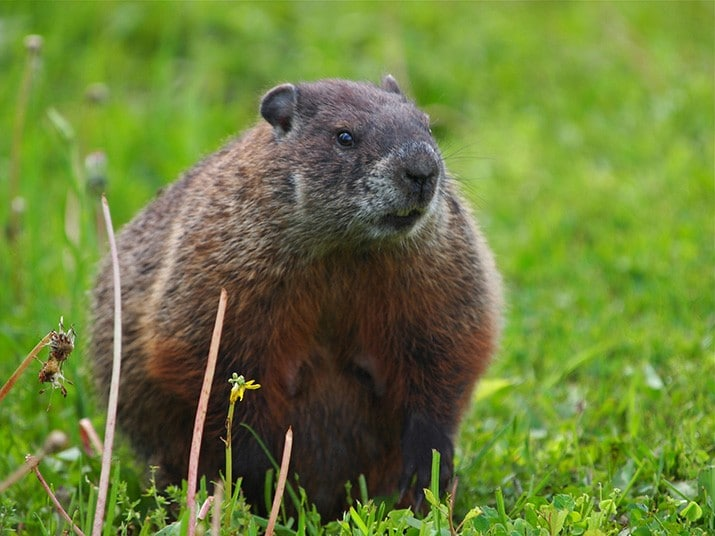 Marmota embarazada