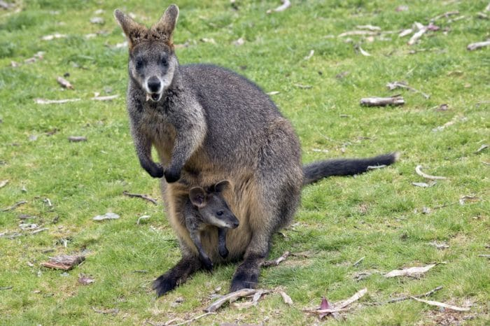 Parque de la Naturaleza de Cabárceno Wallaby de Bennet canguros