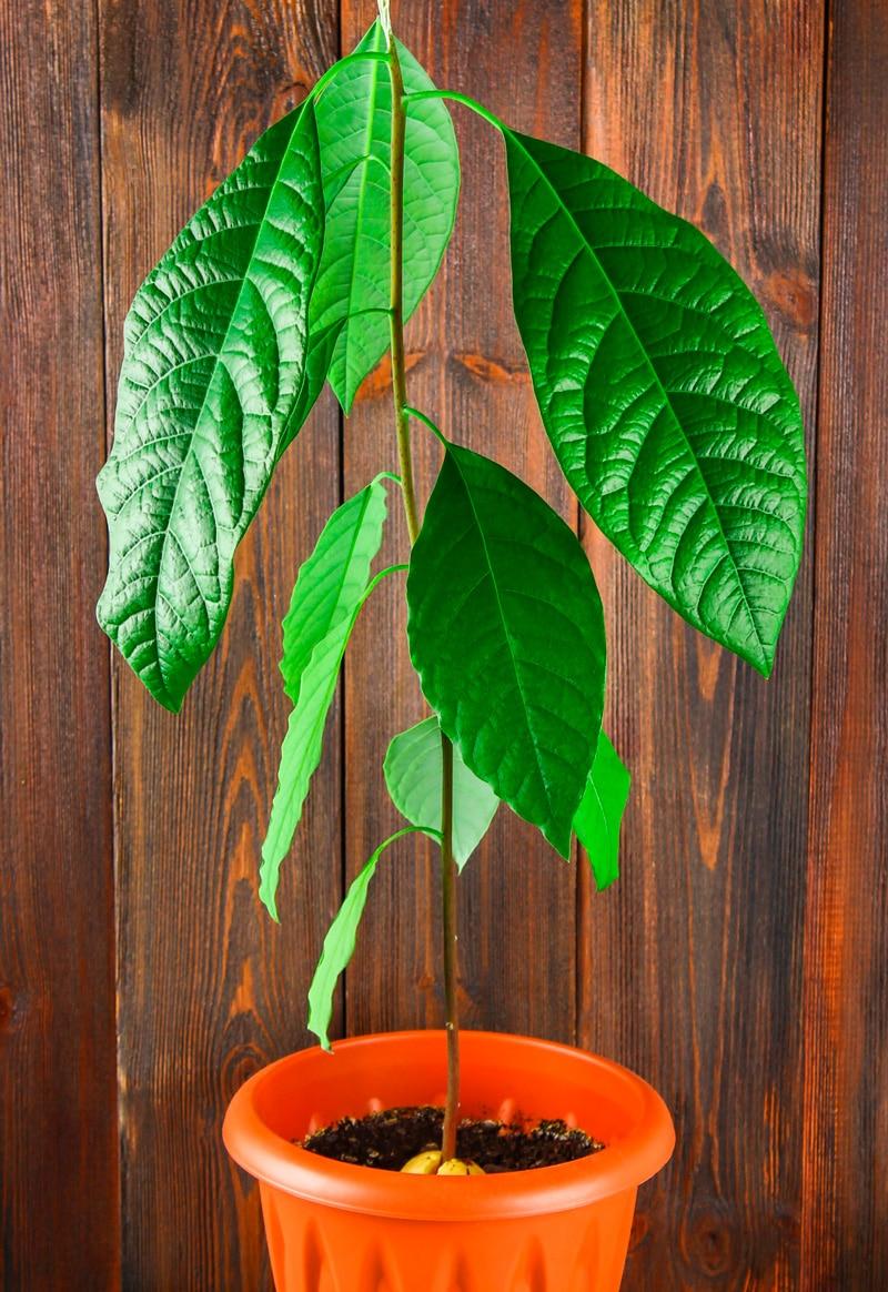 planta aguacate árbol