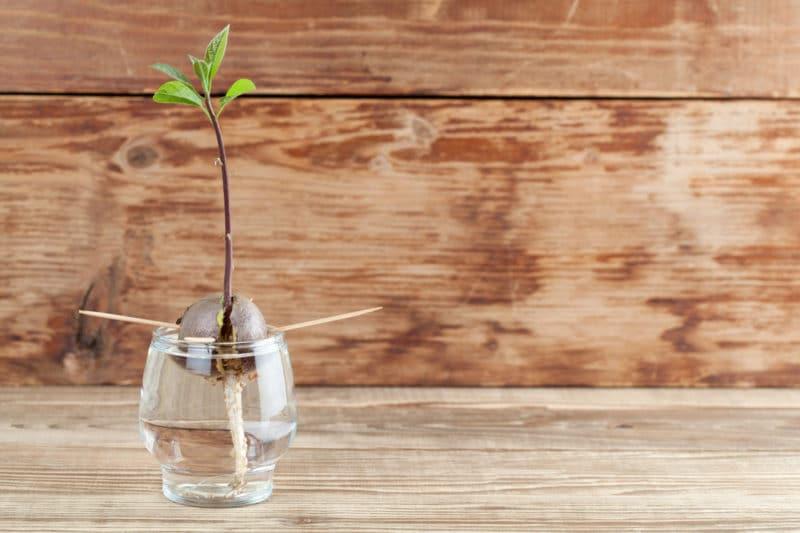 Enséñales a los niños a plantar semillas de aguacate en 5 pasos