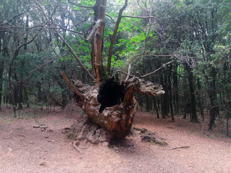 Ruta Castaño del Drac Montseny