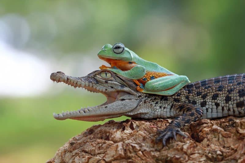 Obra de teatro La rana y el cocodrilo